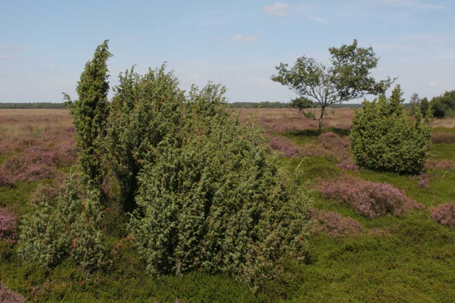 Jeneverbes en heide in het Drents-Friese Wold