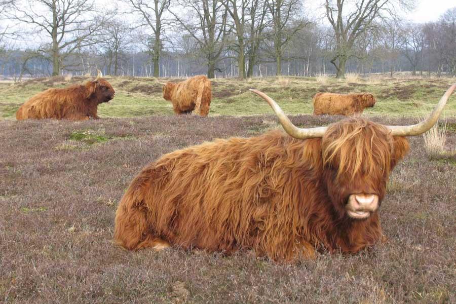 Schotse hooglander, Ter Borg in Westerwolde